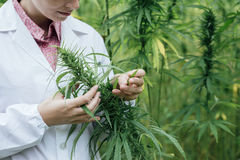 Scienziato che controlla i fiori della canapa Immagine Stock Libera da Diritti