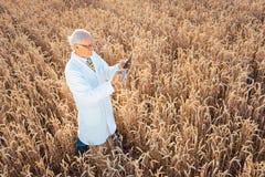 Scienziato che effettua prova in loco di nuovo grano OMG per migliore rendimento immagini stock libere da diritti