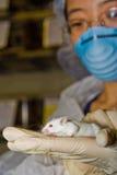 Scienziato con il mouse bianco Immagini Stock