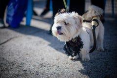 Scienziato del costume del cane Fotografie Stock