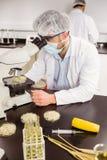 Scienziato dell'alimento che esamina la capsula di Petri sotto il microscopio Fotografia Stock