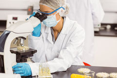 Scienziato dell'alimento che esamina la capsula di Petri sotto il microscopio Fotografie Stock
