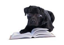 Scienziato Labrador Fotografie Stock