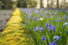 scilla λουλουδιών Στοκ εικόνα με δικαίωμα ελεύθερης χρήσης
