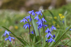 Scilla Royalty Free Stock Photo