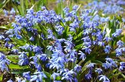 Scilla azul floreciente o siberica siberiano de Scilla de la esquila con las primeras abejas de la miel Foco selectivo Imagen de archivo libre de regalías