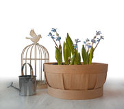Scilla in basket. Next watering can and decorative cage Stock Images