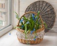 Scilla in the basket Stock Image