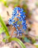 Scilla bifolia Royalty Free Stock Photography