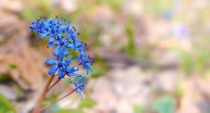 Scilla bifolia Royalty Free Stock Photos