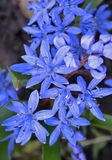 Scilla bifolia. Stock Photography