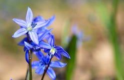 Scilla bifolia flower Stock Photo