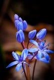 Scilla bifolia wild flowers Royalty Free Stock Images