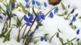 Scilla blauwe bloemen stock footage