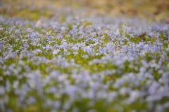 Scilla blommor Arkivbild