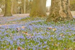 Scilla blommor Fotografering för Bildbyråer