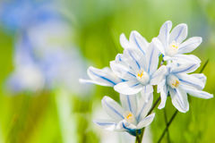 Scilla bloom Stock Photos
