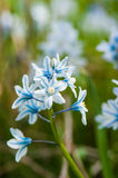 Scilla bloom Royalty Free Stock Image