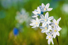 Scilla bloom Stock Photo