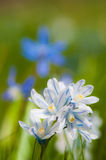 Scilla bloom Stock Images