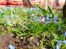 Scilla bloom in spring in the flower bed near the house. Sunny spring day. photos from a close distance. Scilla siberica. stock photography