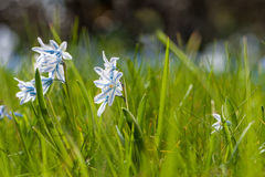 Scilla blooms Stock Photography