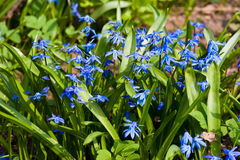 Scilla blossom Stock Photo