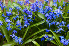Scilla blossom Royalty Free Stock Images