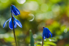 Scilla blue flowers Royalty Free Stock Photos