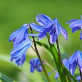 Scilla Stock Images