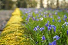Scilla Blumen Lizenzfreies Stockbild