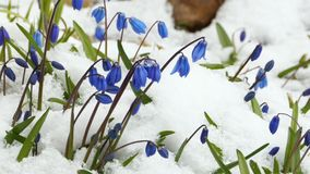 Scilla dans la neige blanche