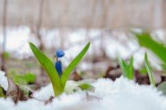 Scilla in de sneeuwbanken De eerste de lentebloemen Stock Afbeeldingen
