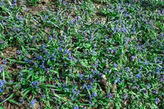Scilla flower blue spring forest close up Royalty Free Stock Image