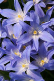Scilla flowers Stock Photos