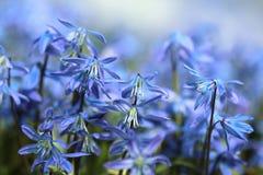 Scilla flowers Stock Photos
