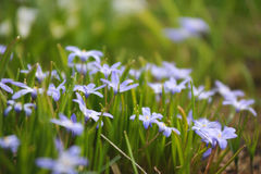 Scilla flowers Royalty Free Stock Photos