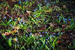 Scilla flowers Stock Photography