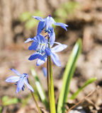 Scilla flowers Royalty Free Stock Photography