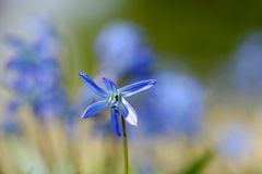 Scilla flowers Stock Images