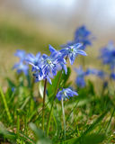 Scilla flowers Stock Photo