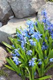 Scilla flowers spring bloom in the garden.  Royalty Free Stock Photography