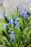Scilla flowers spring bloom in the garden.  Stock Image