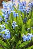 Scilla flowers spring bloom in the garden.  Stock Photo