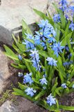 Scilla flowers spring bloom in the garden.  Royalty Free Stock Photos