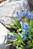 Scilla flowers spring bloom in the garden.  Stock Photography