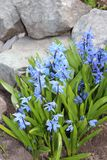 Scilla flowers spring bloom in the garden.  Royalty Free Stock Image