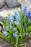 Scilla flowers spring bloom in the garden.  Stock Images