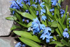 Scilla flowers spring bloom in the garden.  Royalty Free Stock Images
