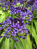Scilla flowers in spring Royalty Free Stock Photos
